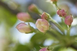resize桜のつぼみ.jpg
